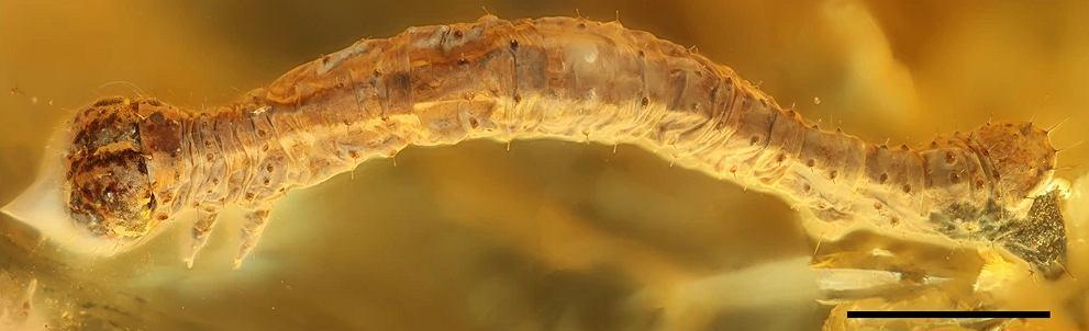 Wyjątkowe odkrycie w Bałtyku. Gąsienica sprzed 44 mln lat w bursztynie