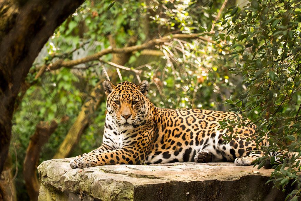 Leopard (zdjęcie ilustracyjne)