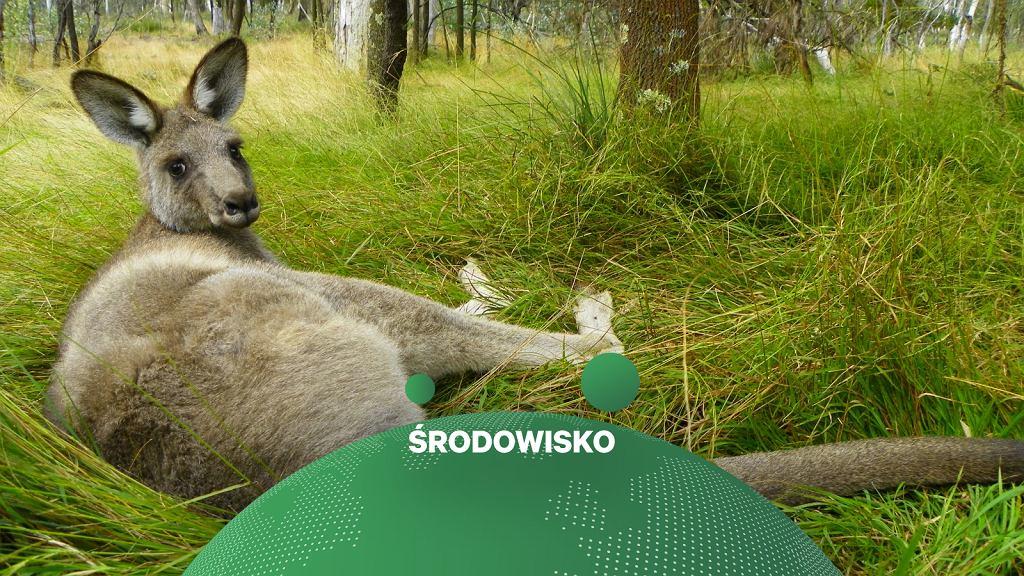 Naukowcy: Kangury mogą intencjonalnie komunikować się z ludźmi (zdjęcie ilustracyjne)