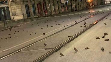 'Rzeź' ptaków w Rzymie po sylwestrze