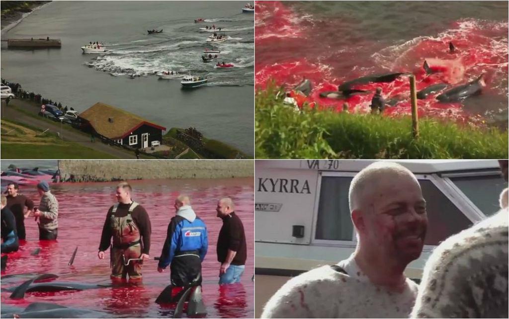 Doroczna rzeź delfinów na Wyspach Owczych