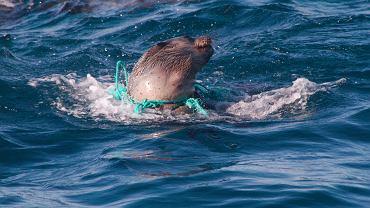 Australijska foczka zaplątana w nylonowy przewód, który poranił jej ciało.