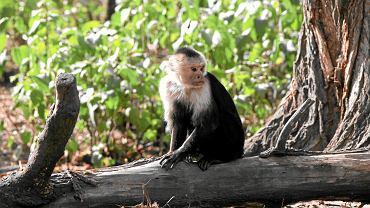 Dla małp banan to przysmak, ale zwykle żywią się warzywami i liśćmi