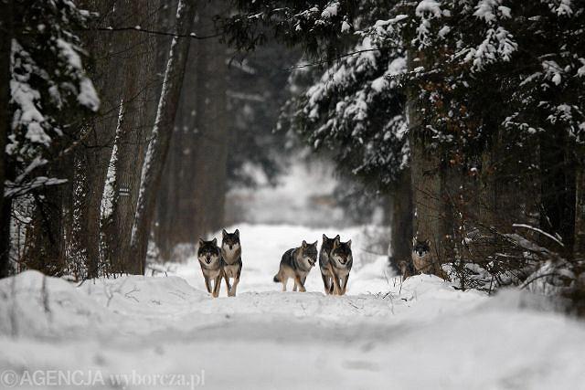 Spotkanie na leśnym szlaku - wilki w Puszczy Białowieskiej