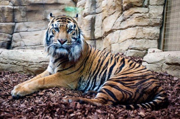 Tygrys w londyńskim Zoo/ Fot. Shutterstock