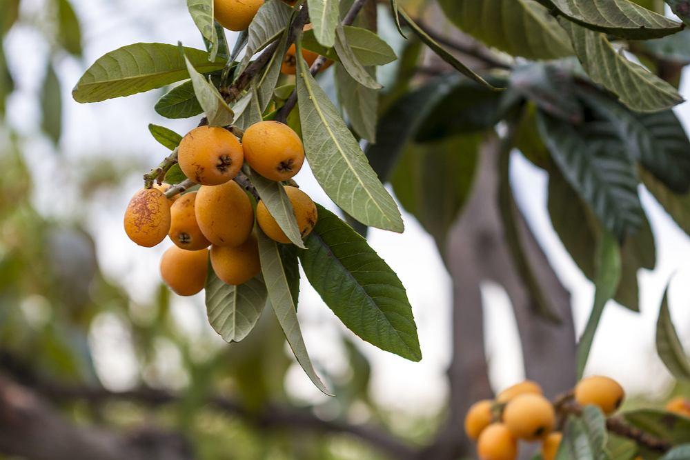 Nesperas - co to za owoce i jak je jeść? Sprawdzamy