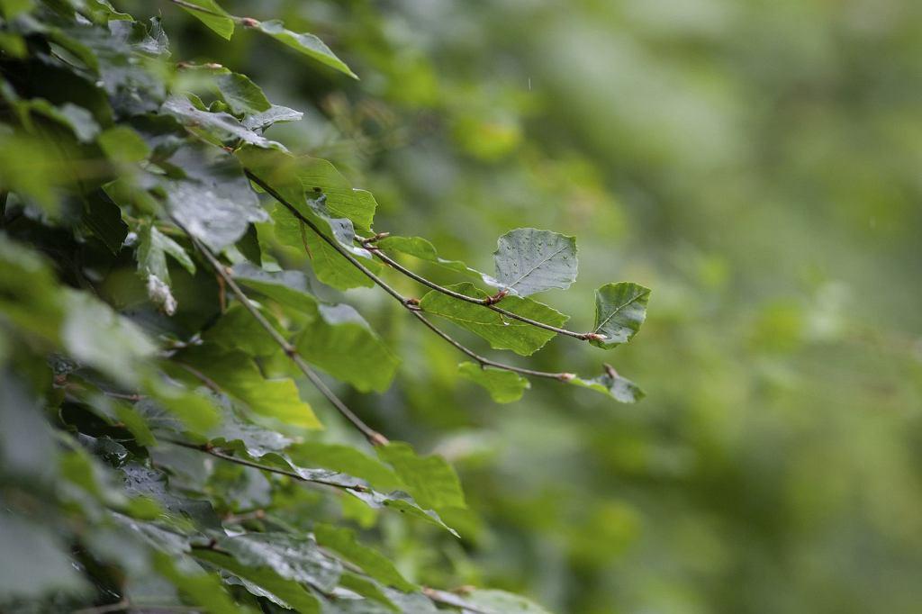 Buki źle znoszą każde odpiłowanie grubych konarów (fot. Rustic99 / iStockphoto.com)