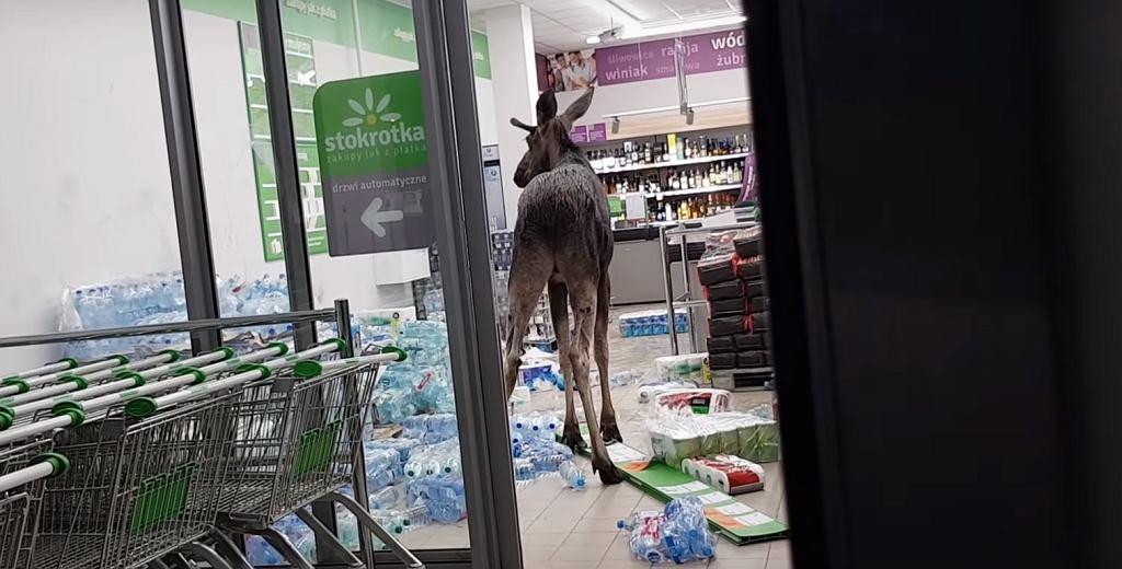 Łoś wszedł do sklepu w Sokółce na Podlasiu.
