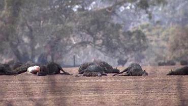 Wyspa Kangura, Australia