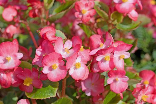 Kwiaty / rośliny niebezpieczne dla psa i kota: begonia. Zdjęcie ilustracyjne
