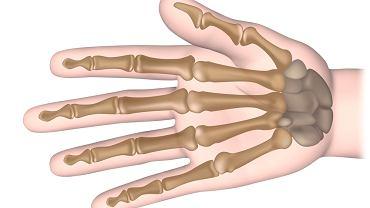 Kości ręki to 27 elementów. W skład dłoni wchodzi nadgarstek, kości śródręcza oraz paliczki, czyli kości palców