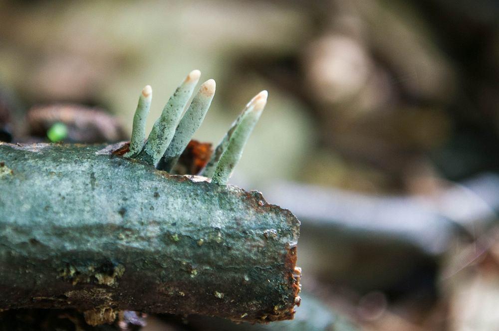 Emocje jak na grzybobraniu to ironia? Jeśli w lesie zobaczysz 'paluchy umarlaka', zmienisz zdanie