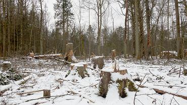 Fragment Puszczy Białowieskiej zdewastowany przez harvestery