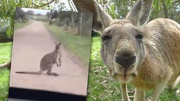 Kangur na mazurskiej dróżce. Uciekł właścicielowi i zwiedzał okolicę [WIDEO]