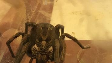 W bagażach znalazł pająka, którego przywiózł z Chorwacji