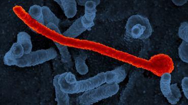 Wybrzeże Kości Słoniowej. Pierwszy przypadek eboli od 1994 r.