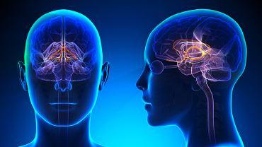 Do najważniejszych zadań układu limbicznego należy kontrola nad pamięcią oraz emocjami