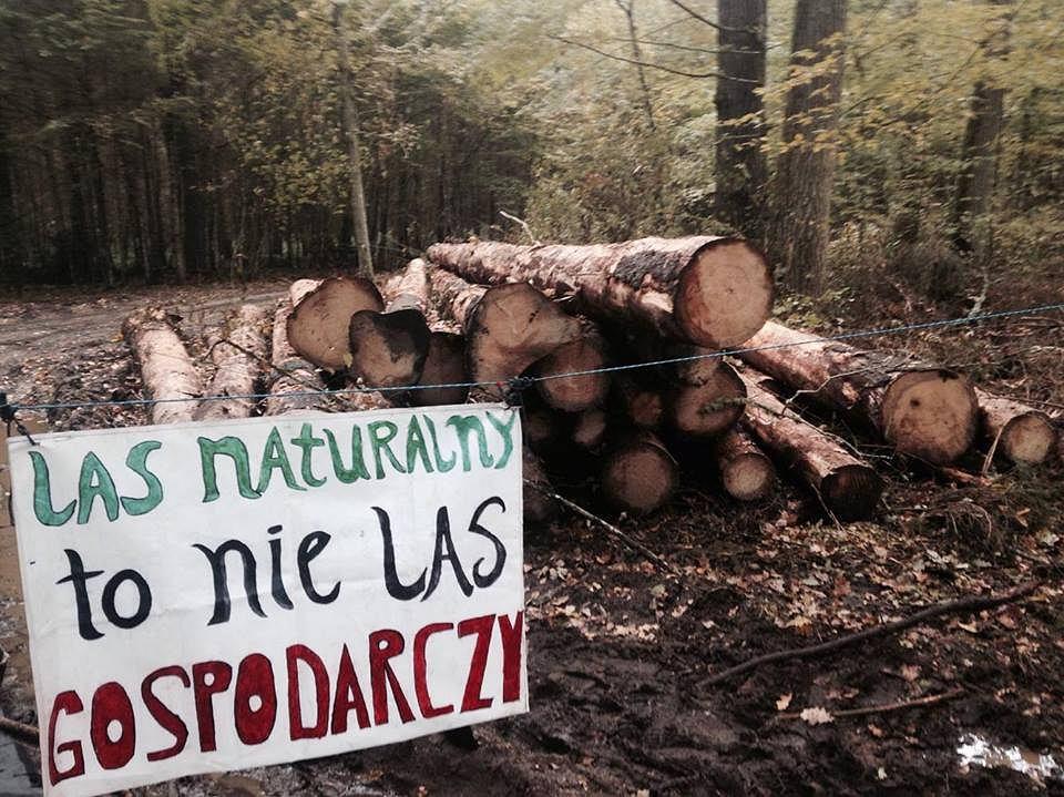Puszcza Białowieska. Blokada wywózki ściętych drzew
