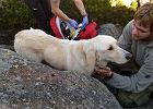 Nero miesiąc temu uciekł z domu. Skrajnie wycieńczony labrador odnalazł się w Karkonoszach
