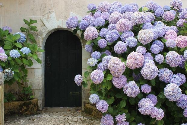 Hortensja ogrodowa. Zdjęcie ilustracyjne