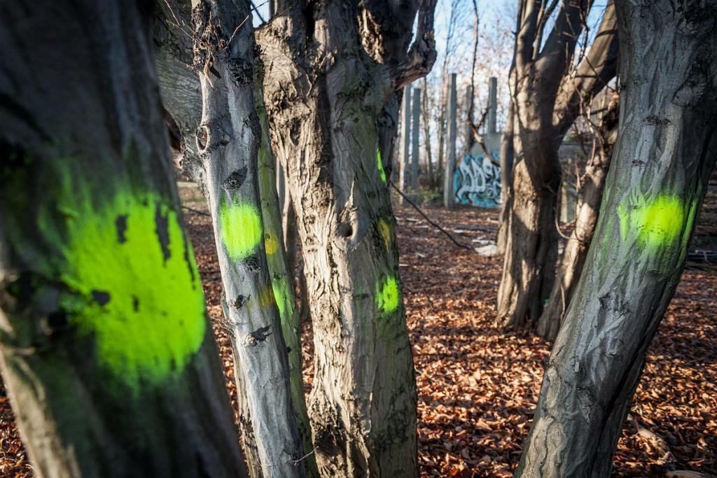 Drzewa przeznaczone do wycinki.