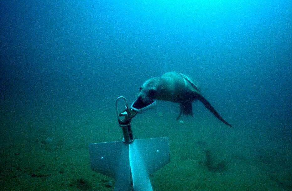 Lew morski US Navy przyczepiający w ramach treningu linę do obiektu znalezionego na dnie
