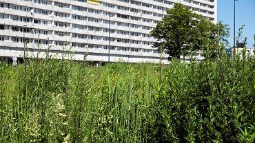 Przy al. Korfantego w centrum Katowic wyrosła piękna łąka