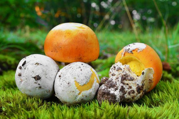 Amanita caesarea jest bardzo smacznym grzybem jadalny, uważanym wręcz za delikates.