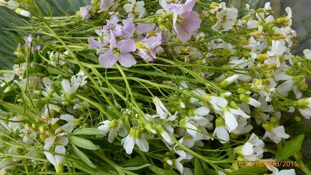 Jadalne kwitnące pędy rzeżuchy łąkowej różowe i rzeżuchy gorzkiej białe