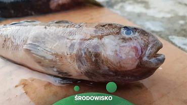 Ryba z Zatoki Puckiej (Facebook/Stowarzyszenie Ekologiczno-Kulturowe 'Nasza Ziemia')