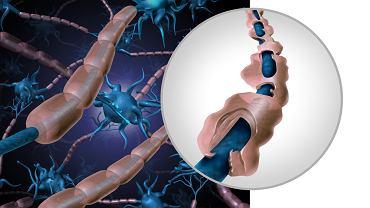 Mielina to substancja, która stanowi otoczkę włókien nerwowych