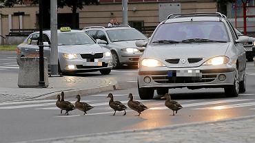 Kaczki przechodzące przez jezdnię (zdjęcie ilustracyjne)