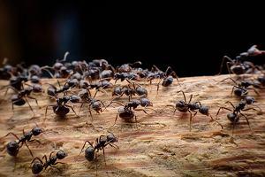 mrówki na penise