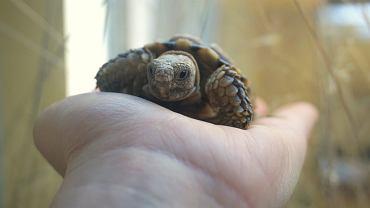 We wrocławskim ogrodzie zoologicznym zamieszkał żółw plamisty