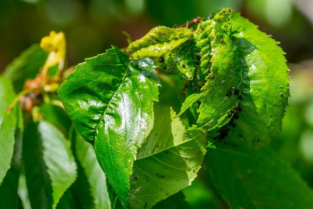 chore liście wiśni zaatakowane przez mszycę czarną