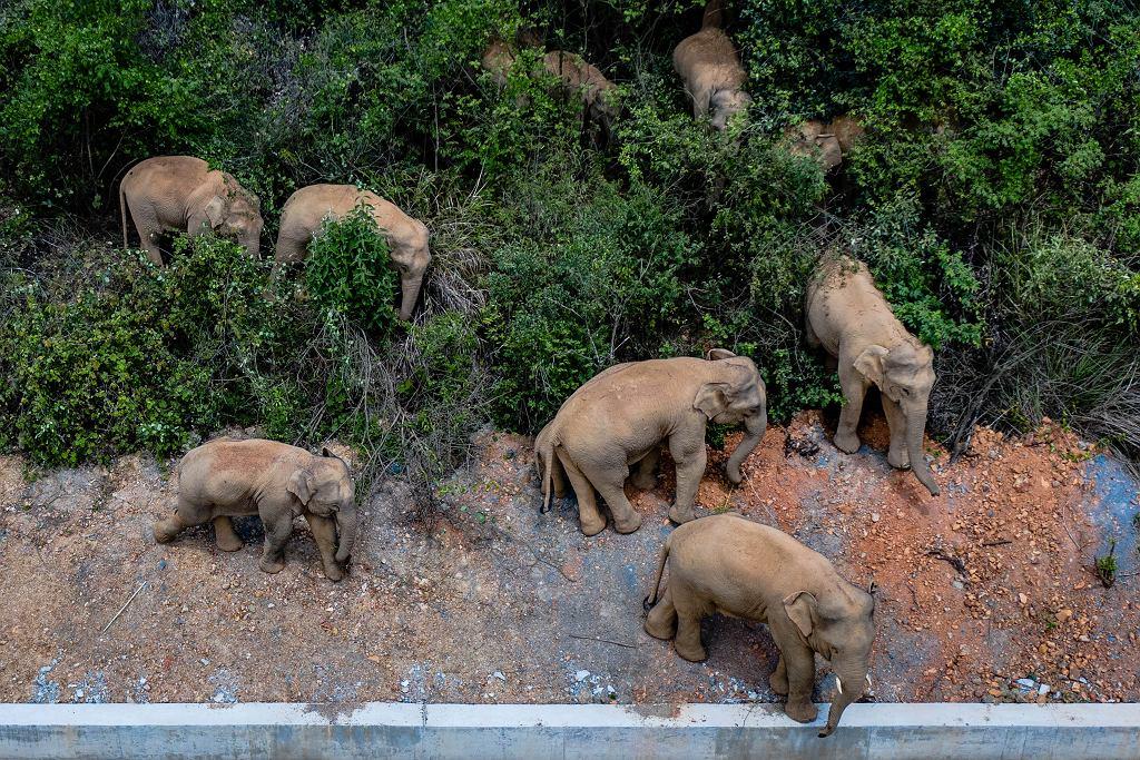 Wielka wędrówka słoni przez Chiny. Stado dotarło do 7-milionowego miasta