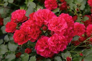 Masz w swoim ogrodzie róże, ale czy wiesz o nich wszystko?