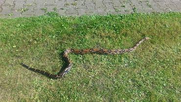 Wąż boa dusiciel w domu na Ursynowie