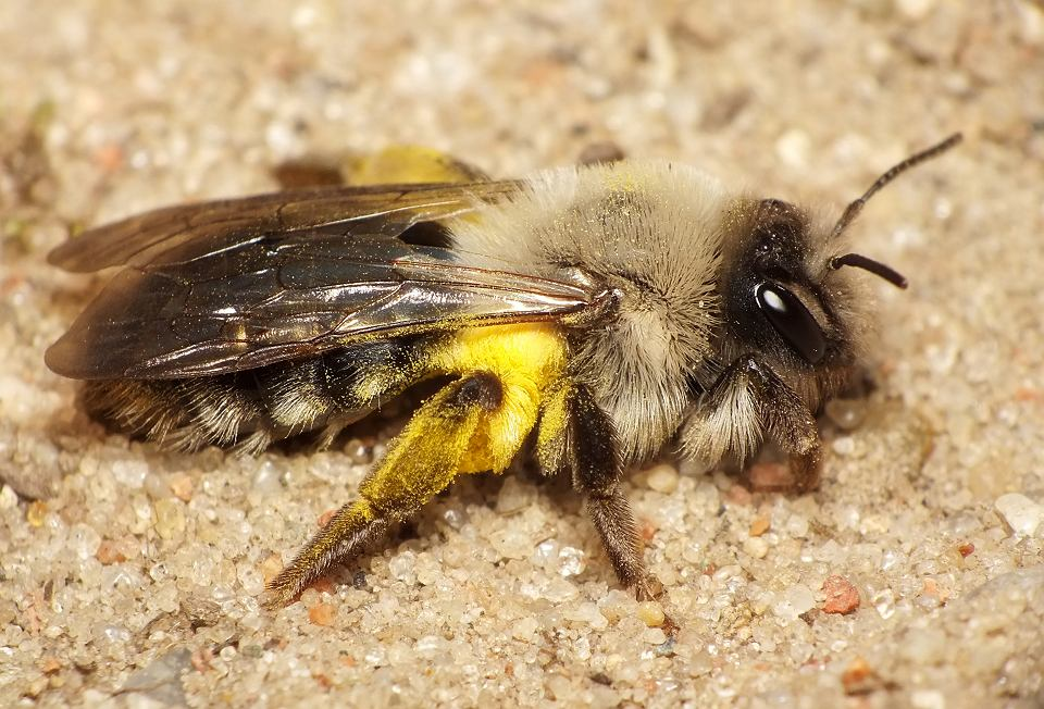 Pszczolinka napiaskowa (Andrena vaga)