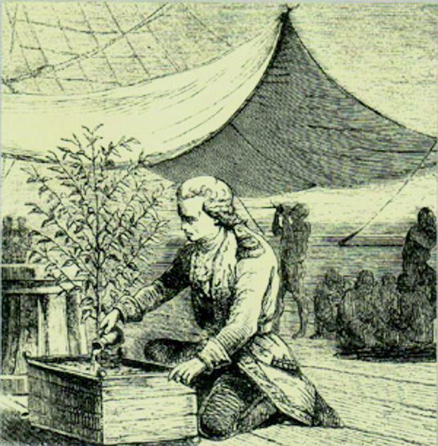 Gabriel de Clieu troszczy się ojedyną ocalałą sadzonkę kawowca