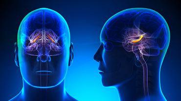 Hipokamp jest częścią mózgowia, która odpowiada przede wszystkim za pamięć długotrwałą i przestrzenną