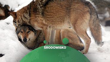 Wilki w zoo