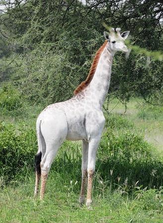 Zdjęcie numer 2 w galerii - W Tanzanii sfotografowano białą żyrafę.