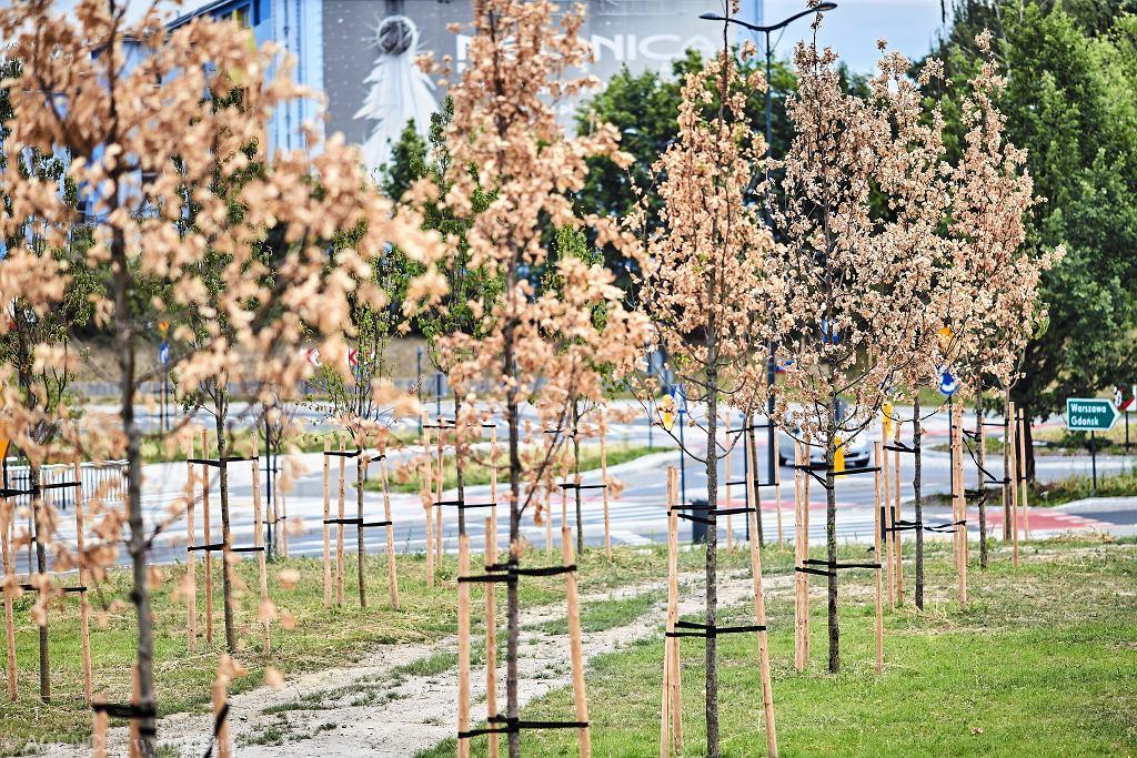 Łódź. Niedawno posadzone drzewka już są suche. Ratusz tłumaczy, że winna jest susza