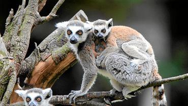 Lemury we wrocławskim zoo