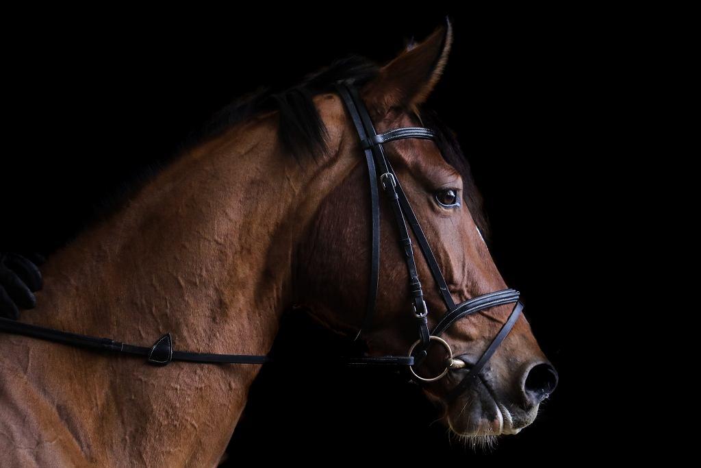 Dolny Śląsk. Ktoś zastrzelił konia wartego prawie pół miliona złotych (zdjęcie ilustracyjne)