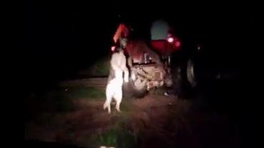 Pies ciągnięty za traktorem