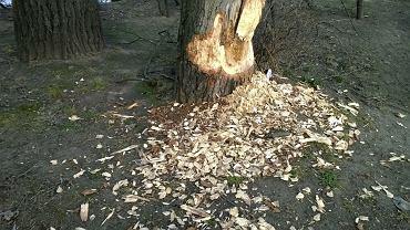 Obgryzione przez bobry drzewo