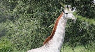 Zdjęcie numer 1 w galerii - W Tanzanii sfotografowano białą żyrafę.