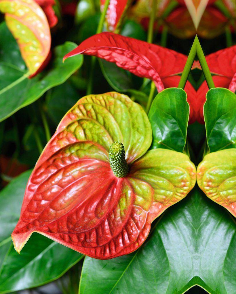 Piękne kwiatostany anturium robią wrażenie